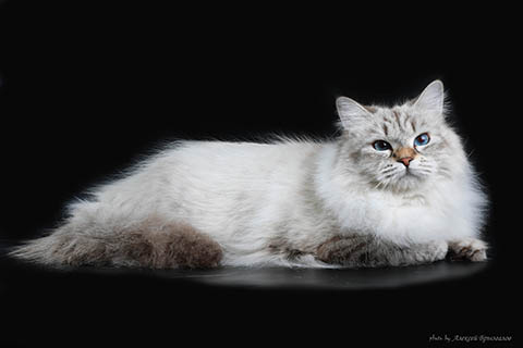 Невская маскарадная кошка фото