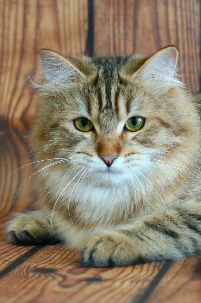 Сибирская кошка.фото 20.08.20.