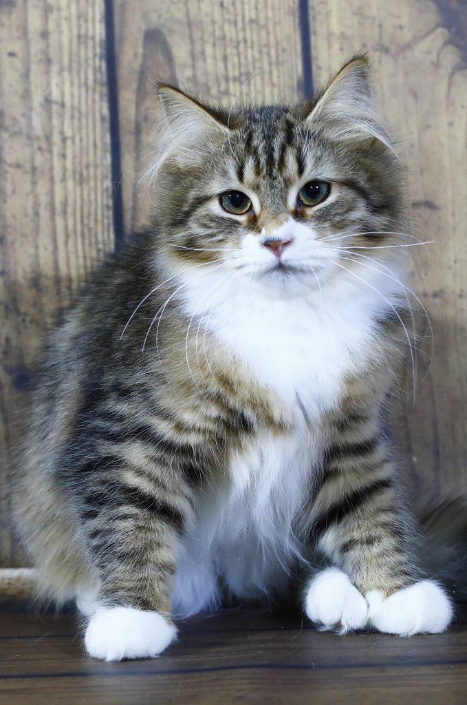 Сибирская кошка.фото 03.05.20