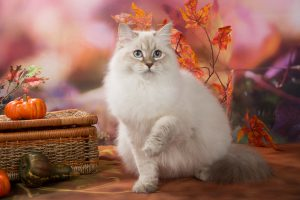 Невская маскарадная кошка окрас блю-тэбби-поинт фото
