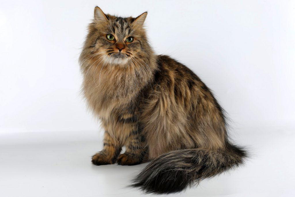 Сибирского котенка купить