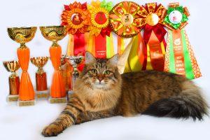 Сибирский кошка фото