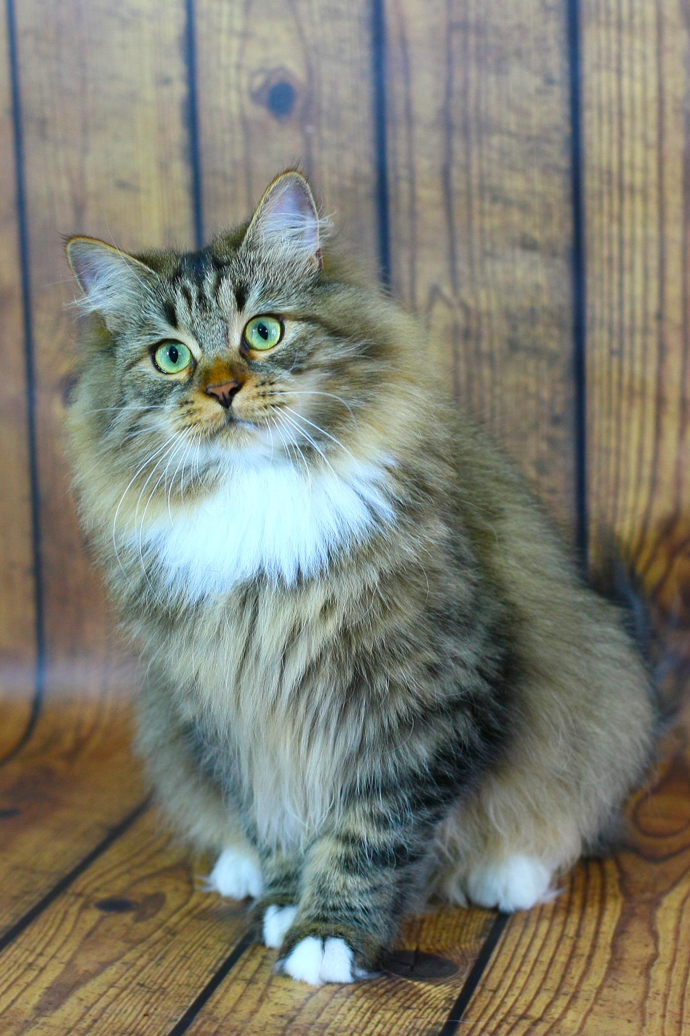 Сибирский кошка купить