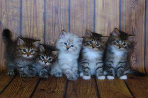 Сибирский котенок купить Невский маскарадный котенок купить
