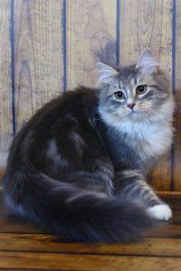 Сибирский кошка окрас голубой мрамор из питомника Звезда Маскарада