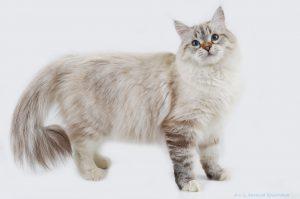 Невская маскарадная кошка окрас блю-поинт из питомника Звезда маскарада