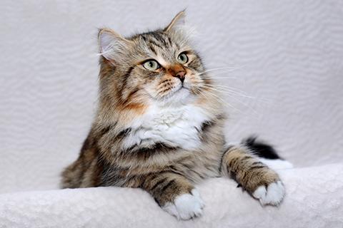 Сибирский кот фото
