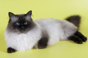 Невский маскарадный кот Окрас сил-поинт