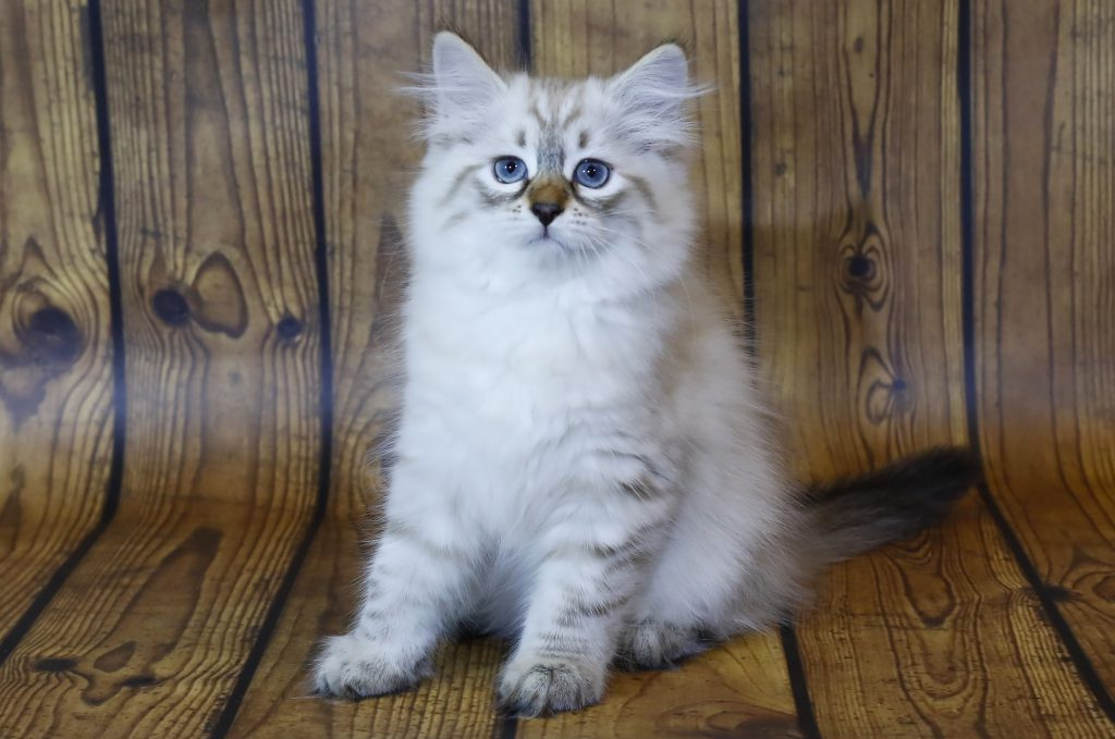 Невский маскарадный котенок. Кот. фото 20.08.20