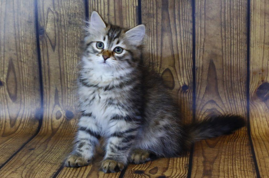 Сибирский котенок фото 20.08.20