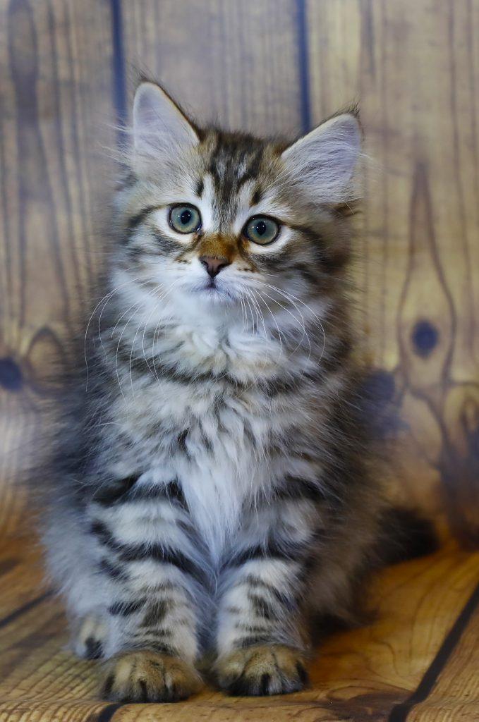 купить сибирского котенка