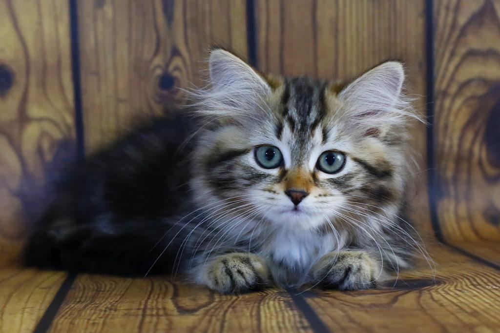 Сибирский котенок , кошка. фото 20.08.20