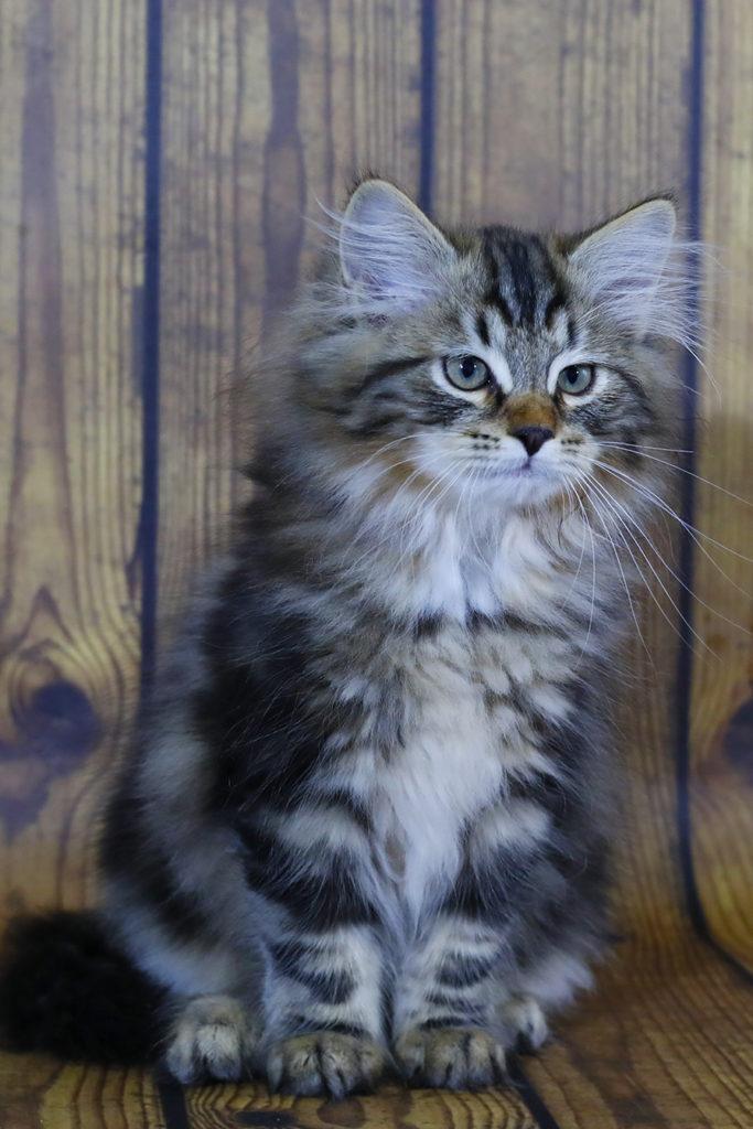 Сибирский котенок , кот. фото 20.08.20