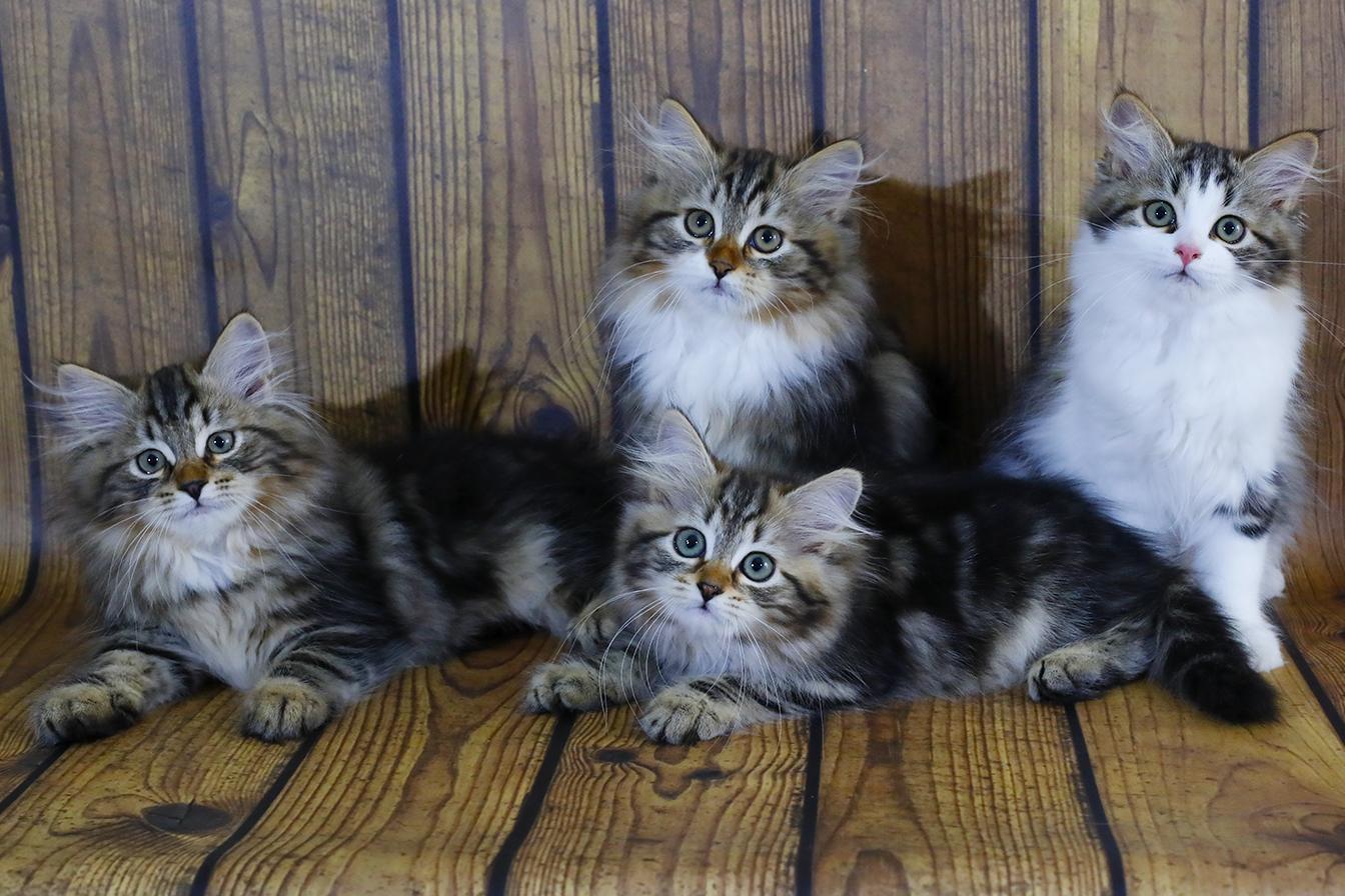 купить сибирского котенка Купить невского маскарадного котенка