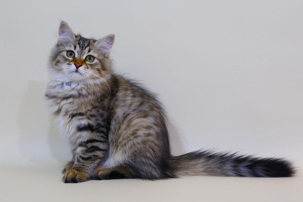 Сибирский котенок фото 28.08.20