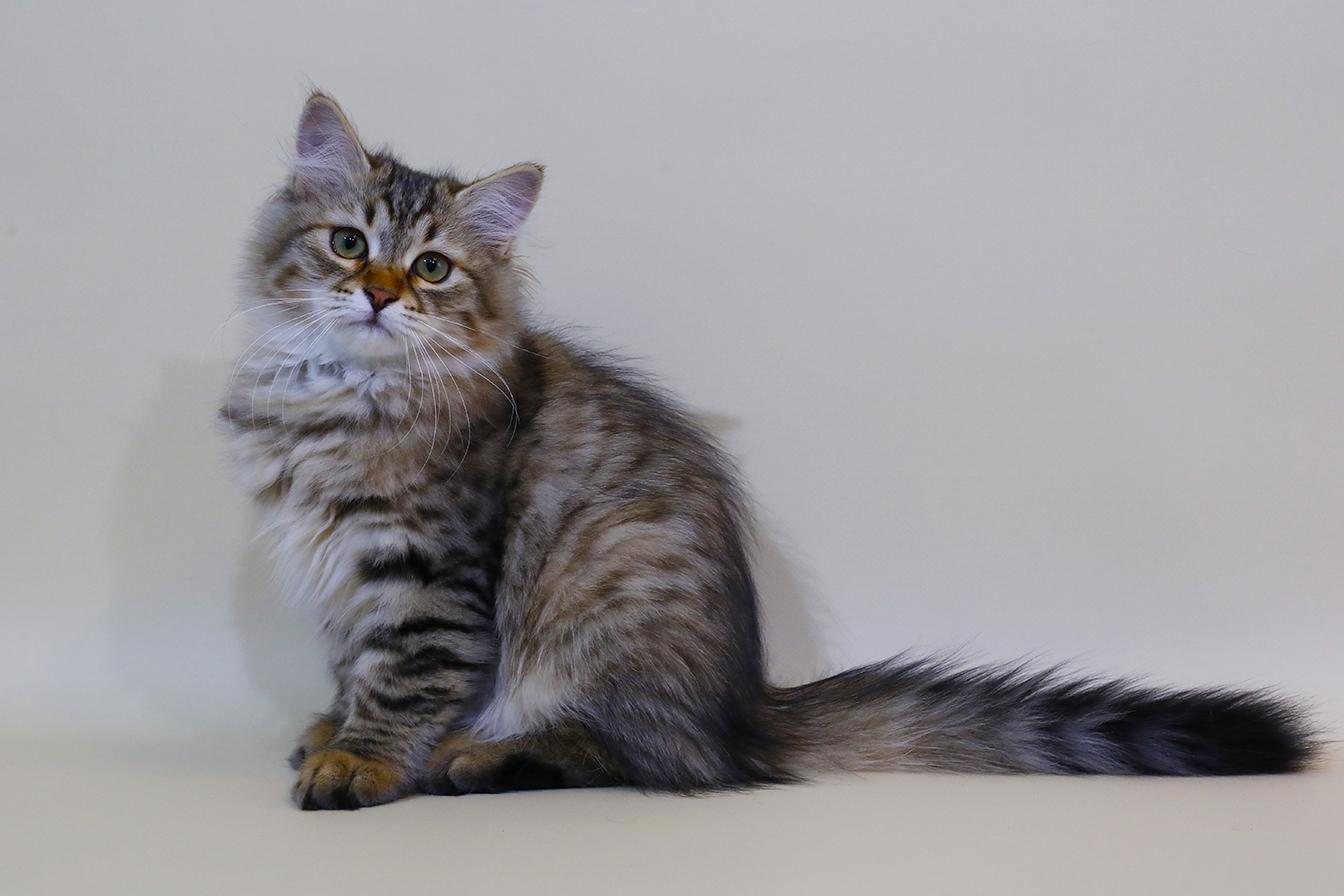 Сибирский котенок.Купить. фото 28.08.20