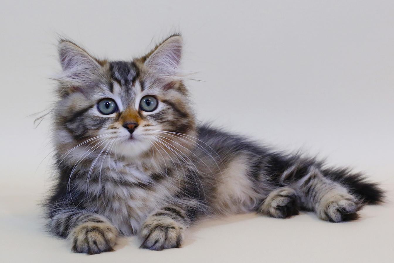 Сибирский кошка. купить