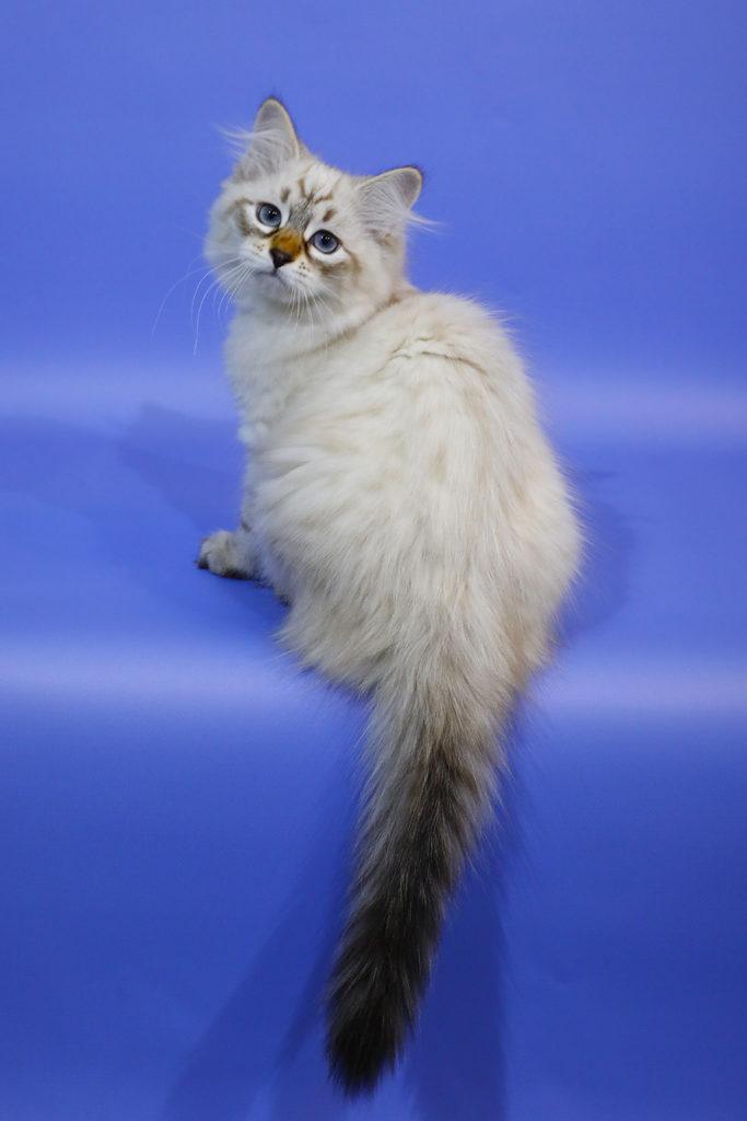 Невский маскарадный котенок фото 28.08.20