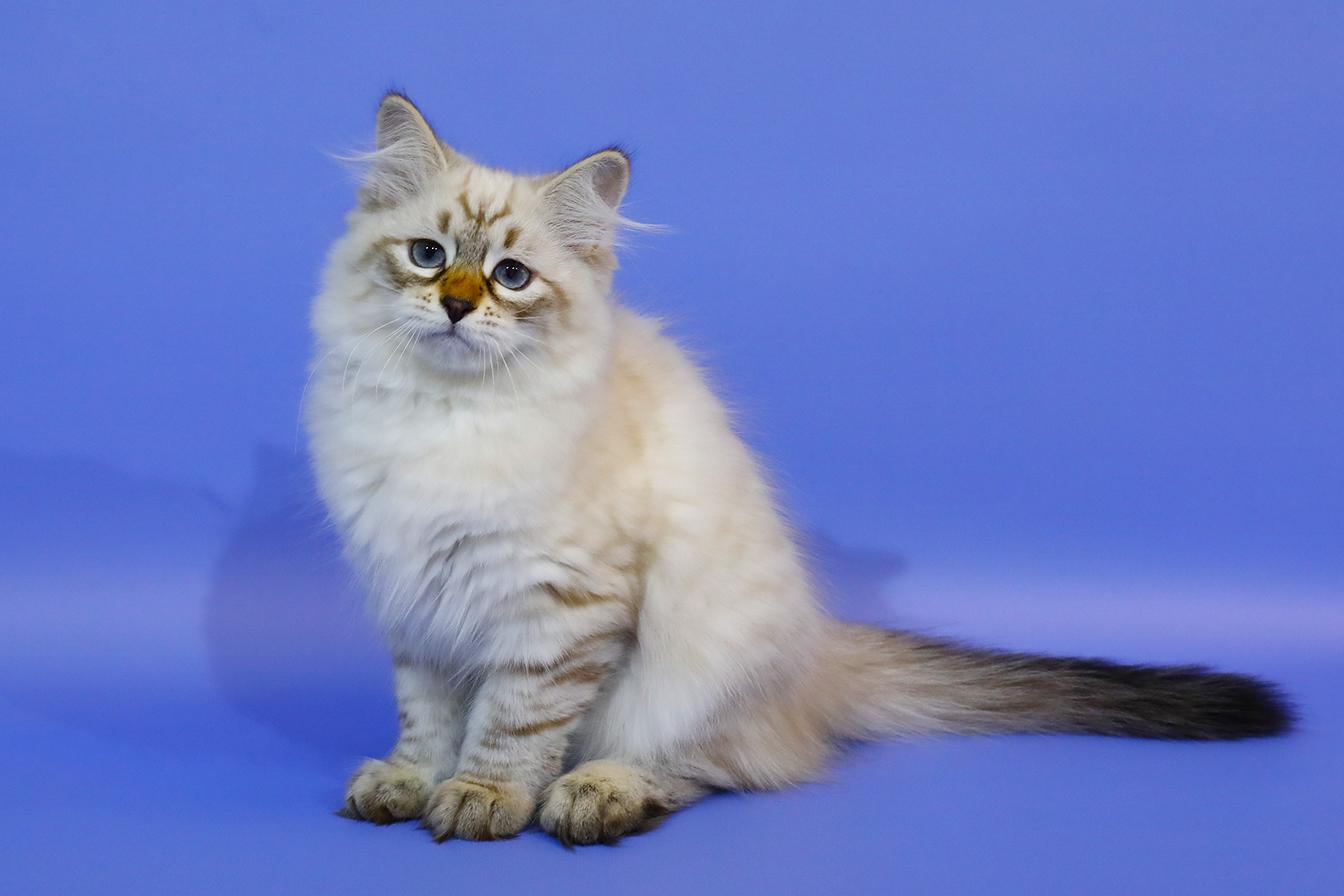 Невский маскарадный котенок .Купить.