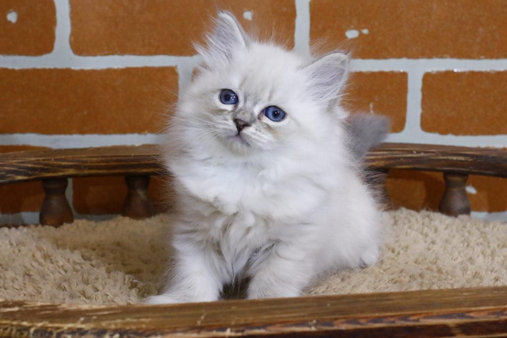 Невская маскарадная кошка Фото 05.11.2020
