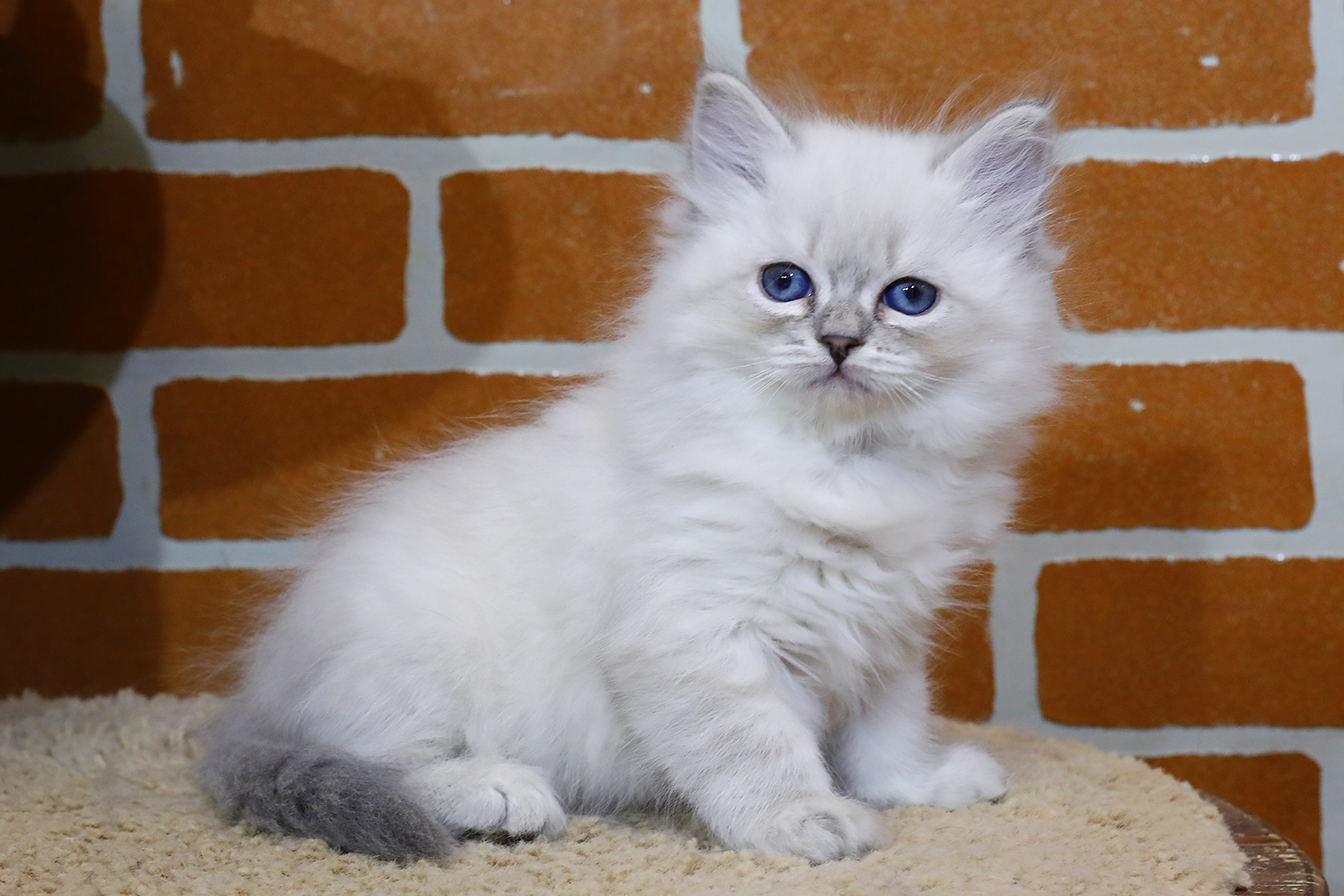 Невский маскарадный котенок Кошка фото 05.11.2020