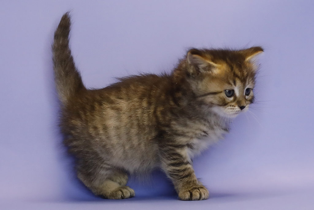 Сибирский кошка