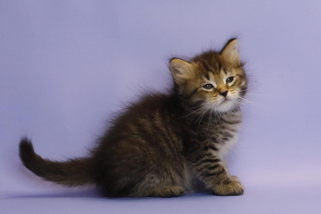 Сибирский котенок. кошка. фото 26.12.2020