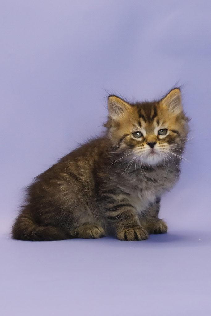 Сибирский котенок купить