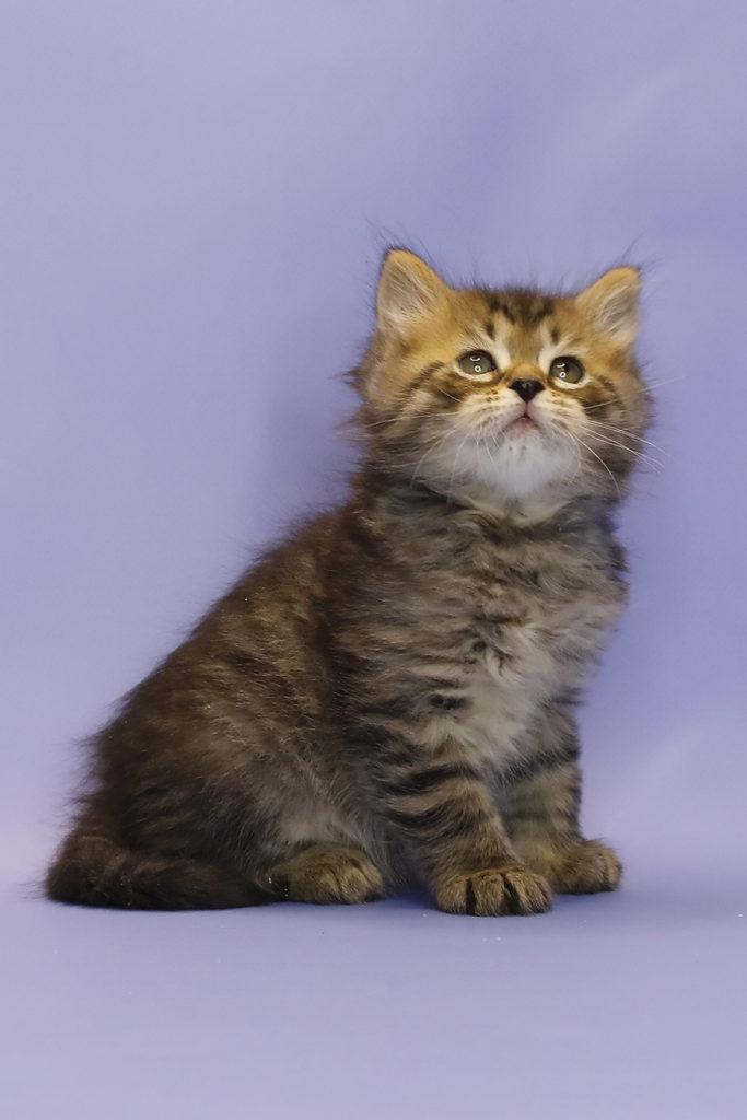 купить сибирского котенка 4