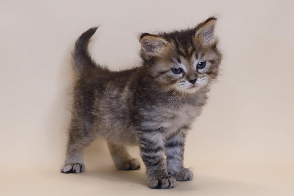 Сибирская кошка фото26.12.20