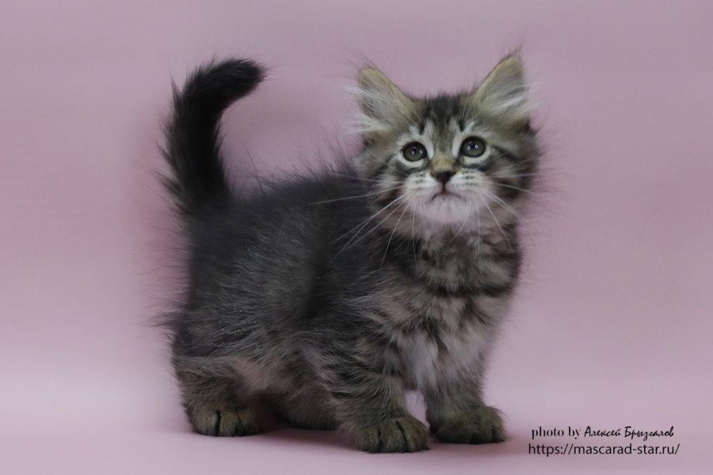 Сибирский котенок , кошка. фото 14.01.21