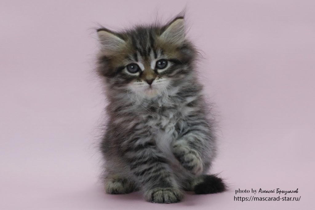 Сибирский котенок , кошка. фото 13.01.21