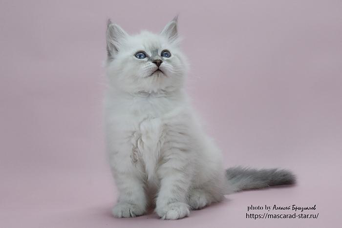 Купить невского маскарадного котенка из питомника в Москве