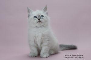 Купить невского маскарадного котенка