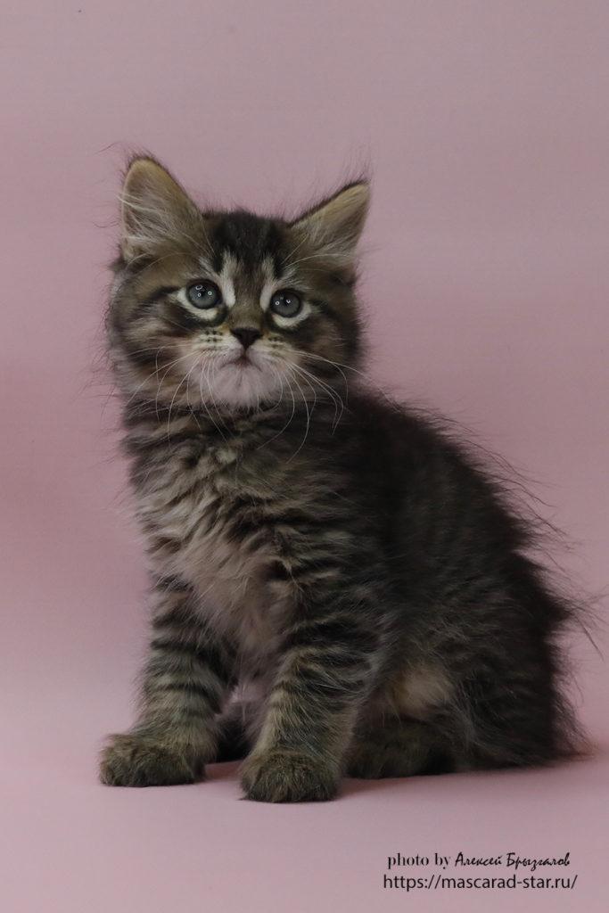 Сибирский котенок , кот. фото 14.01.21