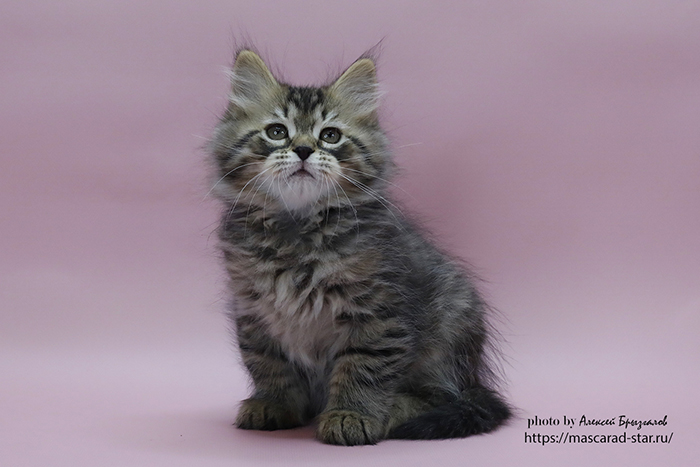 купить сибирского котенка из питомника в Москве