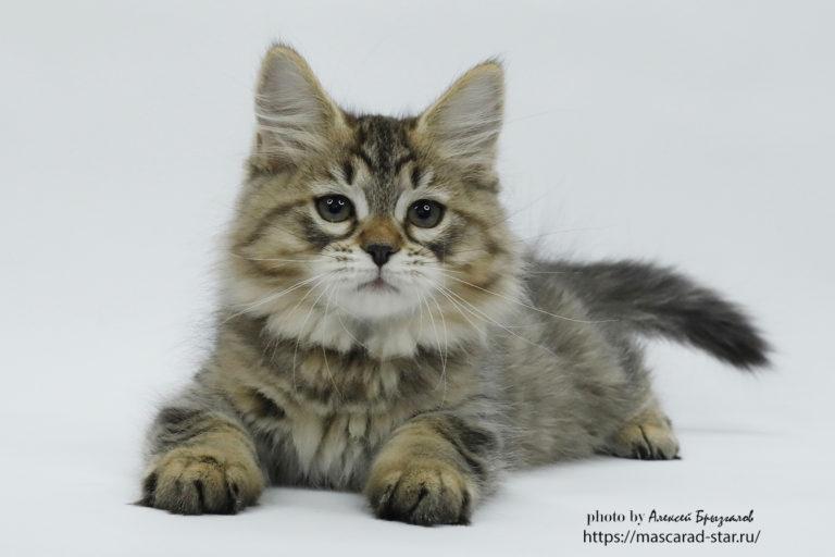 купить сибирского котенка из питомника в Москве6