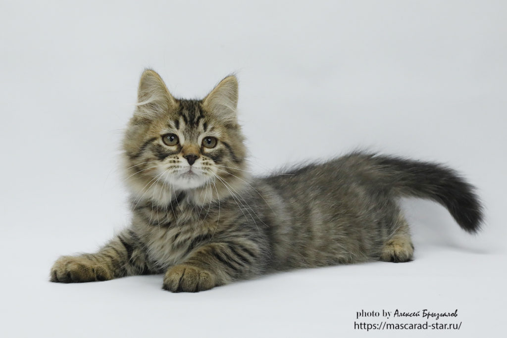 Сибирский котенок из питомника Звезда маскарада