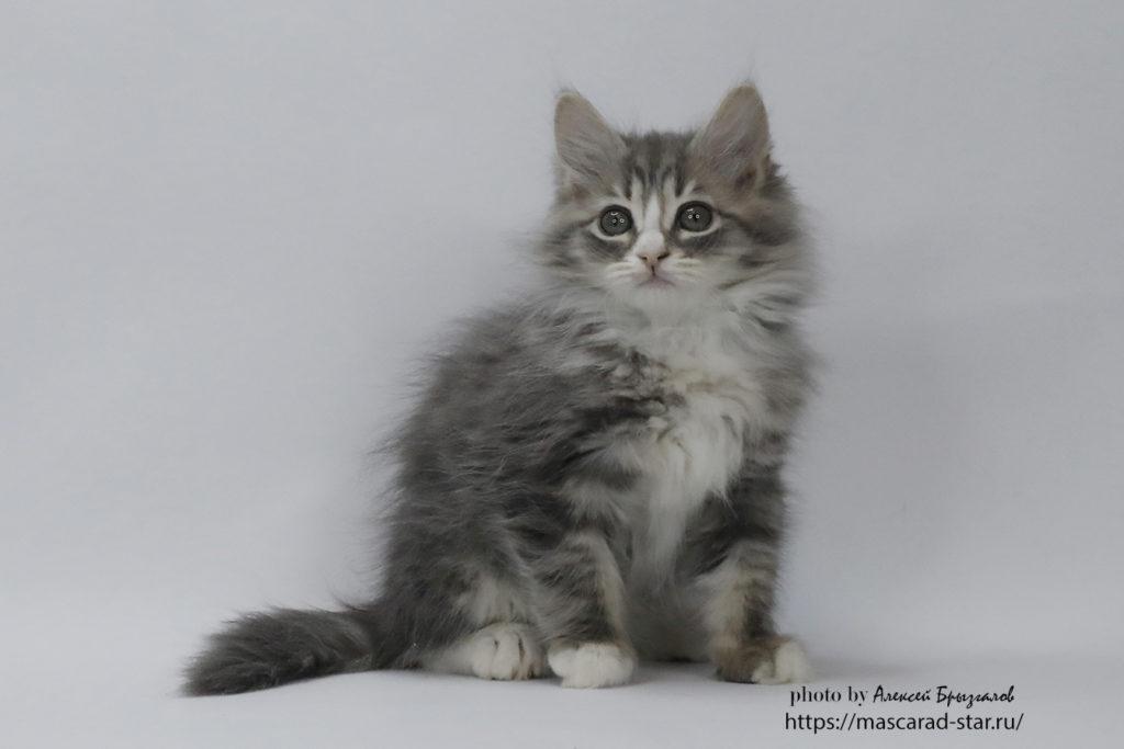 Сибирский котенок , кот. фото 08.03.21