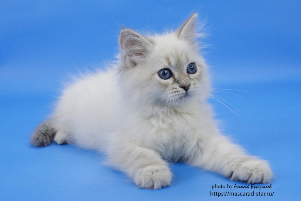 Невский маскарадный котенок фото 08.04.2021