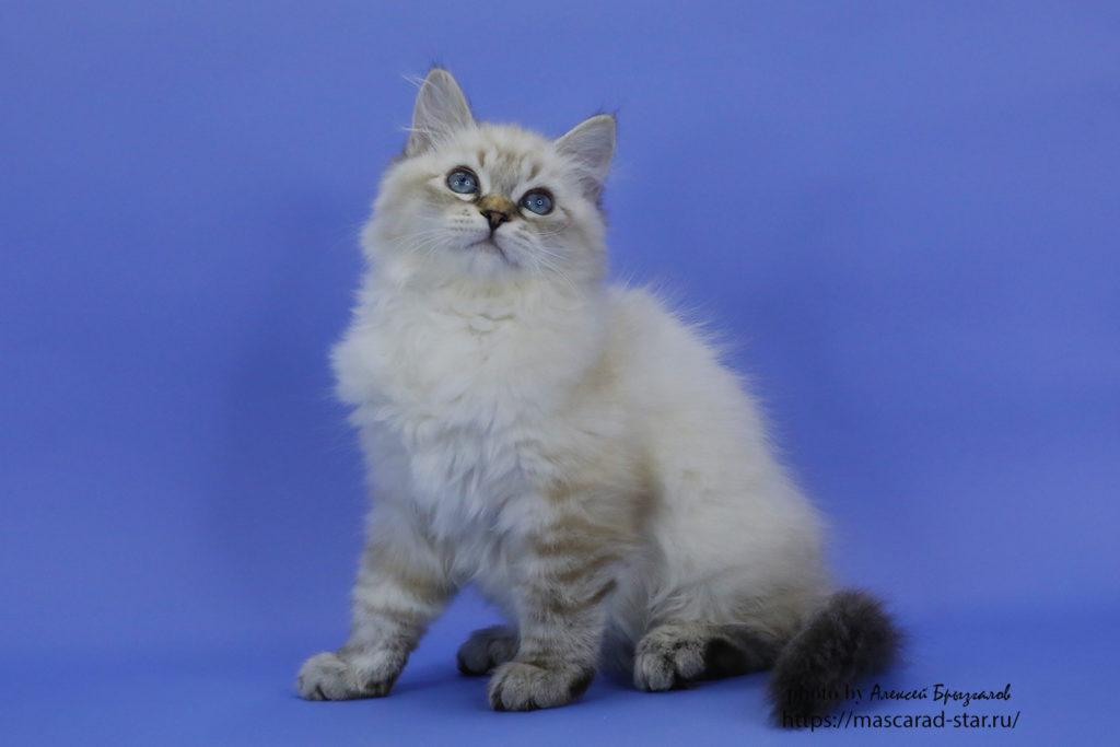 Невский маскарадный котено. Кошка. Фото 25.04.2021