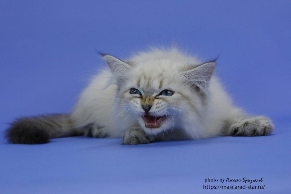 Невский маскарадный котенок. Кошка. Фото 25.04.2021