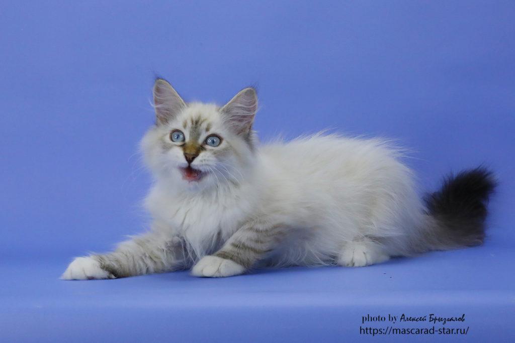 Невский маскарадный котенок. Кот. Фото 25.04.2021
