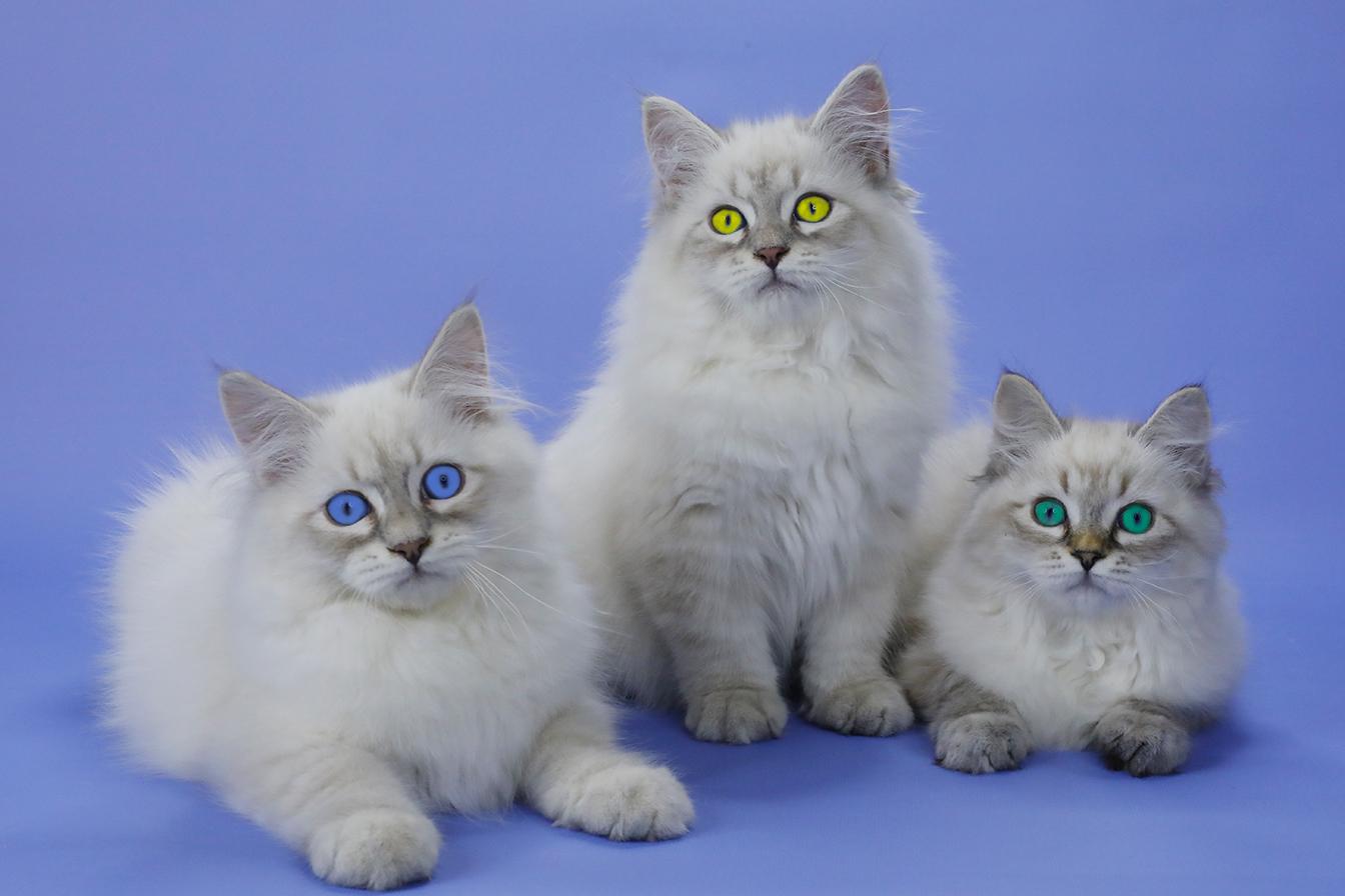 Невские маскарадные котятя