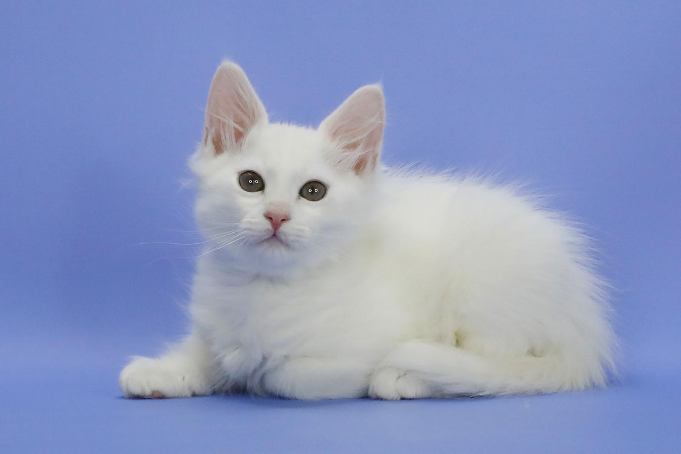 Белый сибиряк