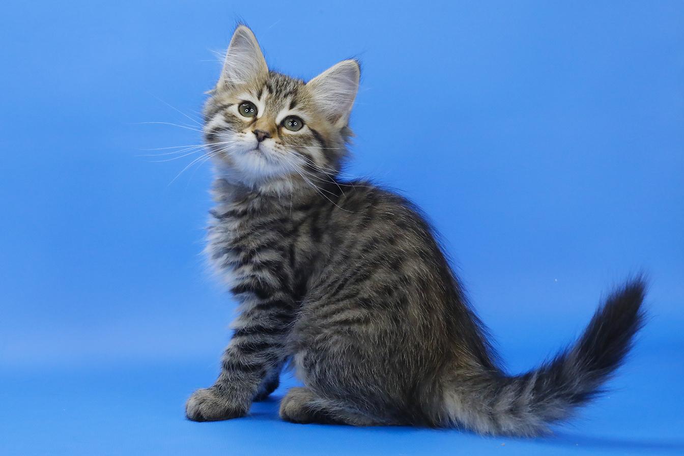 Кошки и котята сибирской породы