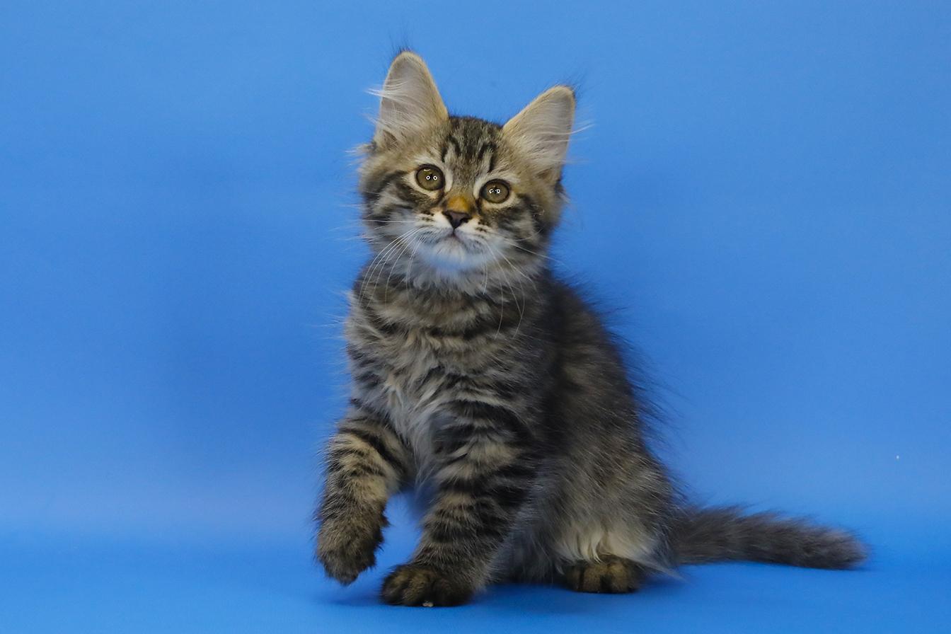 Сибирская кошка. Фото.