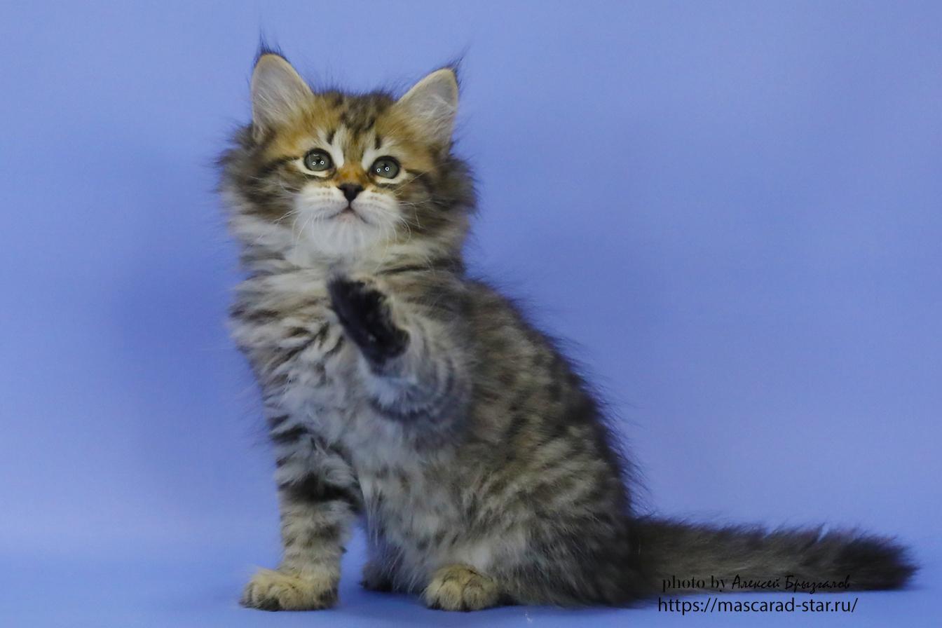 Сибирский котенок .Кошка.