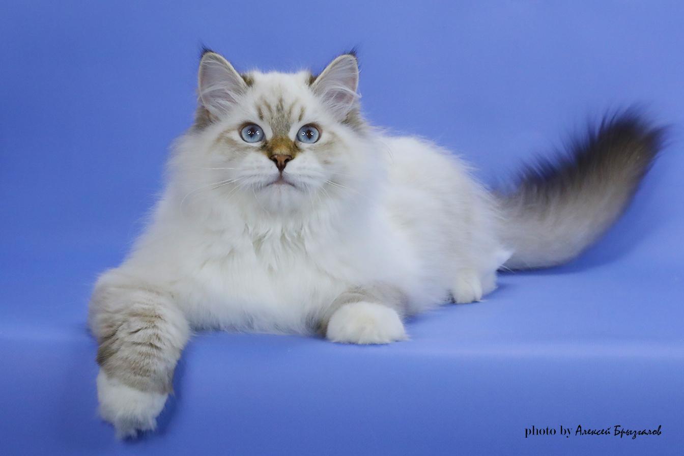 Невский маскарадный кот продается
