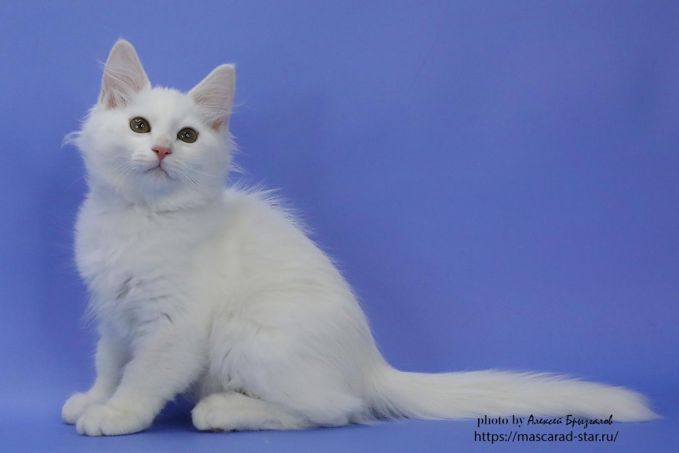 Сибирский котенок белого окраса